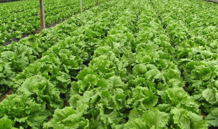 Can hydroponics be a superior option to organic farming
